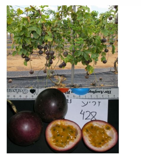 Passion-Fruit Cultivar '428' (Dena) - Fruit Remain on The Vine After Ripening Dena ('428')