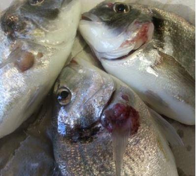 Mycobacterium marinum bacteria-based vaccine for fish